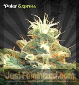Auto Polar Express Cannabis Seeds for Sale UK Worldwide